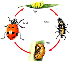Northwest Beneficials Live Ladybugs Praying Mantis Natural Pest